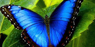 blue-bereavment-butterfly